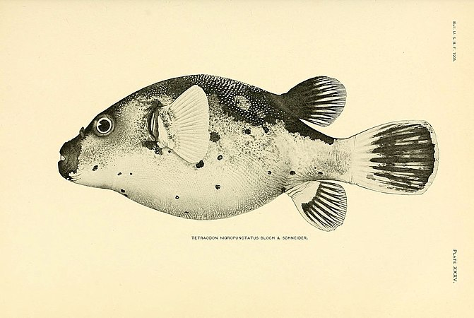 The fishes of Samoa (Plate XXXV) (5998994244).jpg
