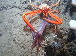 The galatheoid crab Eumunida picta catches and consumes a squid.jpg