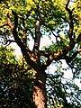 The trident-oak.jpg