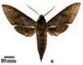Theretra eitschbergeri holotype (Indonesia, Tanimbar, Yamdena isl., Lorulun vill.) (SMCR) male upperside.jpg