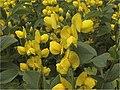 Thermopsis lupinioides1SHSU.jpg