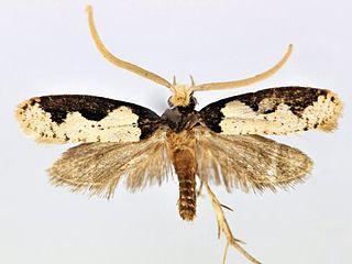 <i>Thisizima subceratella</i> Species of moth