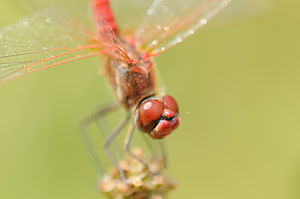Composed eyes of Sympetrum fonscolombii