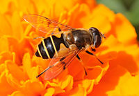 Thomas Bresson - Syrphidae sp. (by) (2).jpg