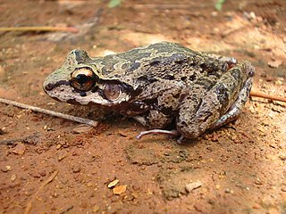 <i>Thoropa</i> genus of amphibians