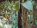 Thunbergia mysorensis (5593001642).jpg
