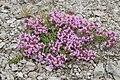 Thymus quinquecostatus 01.jpg