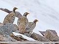 Tibetan Snowcock (Tetraogallus tibetanus) (48701038421).jpg