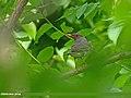 Tickell's Thrush (Turdus unicolor) (27650002182).jpg