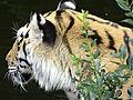 Tiger i dyreparken.JPG
