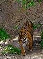 Tiger in Los Angeles Zoo 2.jpg