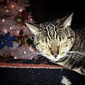 Tigress in Christmas 2017.jpg