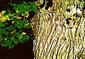 Tilia cordata Winterlinde Borke und Blatt.jpg
