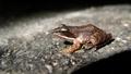 Tiny wood frog (rana sylvatica) (6007083421).png