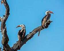 Tocos piquigualdos sureños (Tockus leucomelas), parque nacional Makgadikgadi Pans, Botsuana, 2018-07-30, DD 13.jpg