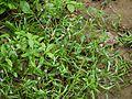 Tonningia axillaris (5070288717).jpg