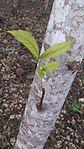 Toona calantas (Philippine mahogany) - 3.jpeg