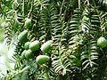 Torreya grandis Merrillii1.jpg