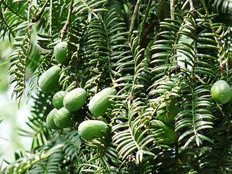 Torreya - Image: Torreya grandis Merrillii 1