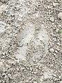 Trace de Cerf élaphe (Cervus elaphus) en forêt de Mormal.jpg
