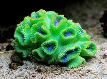 Koral Wikipedie