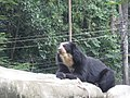 Tremarctos ornatus Zoo Rio02.jpg
