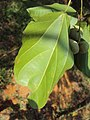 Trewia nudiflora 05.JPG