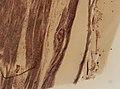 Trichinella spiralis (YPM IZ 095187).jpeg