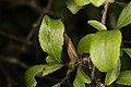Trichoptera sp. (35634728994).jpg