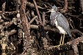 Tricolored heron shell creek mangroves (23949654341).jpg