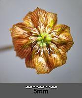 Trifolium campestre sl11.jpg