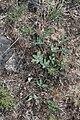 Trifolium macrocephalum 9307.JPG