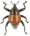 Trigonopterus ferrugineus holotype - ZooKeys-280-001-g030.jpg