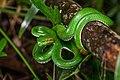 Trimeresurus gumprechti, Gumprecht's green pit viper (male, subadult) - Phu Hin Rong Khla National Park (35999405395).jpg