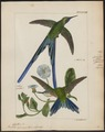 Trochilus cyanurus - 1820-1860 - Print - Iconographia Zoologica - Special Collections University of Amsterdam - UBA01 IZ19100383.tif