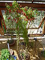 Tropaeolum tricolorum Sw. (Tropaeolaceae) plant 2.jpg