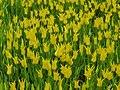 Tulip 1300260.jpg