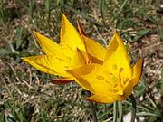 Tulipa sylvestris1.jpg