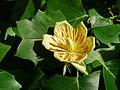 Tulipier de Virginie (13).JPG