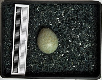 Redwing - Egg, Collection Museum Wiesbaden