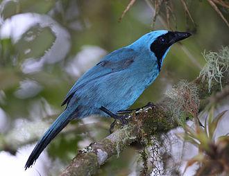 Cyanolyca - Image: Turquoise jay