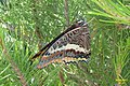 Two-tailed pasha (w. of Volimes) (35914114275).jpg