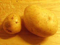 Two organic Melody potatoes grown in Worcestershire in 2015.jpg