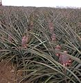 Upcountry Maui Pineapple Fields.jpg