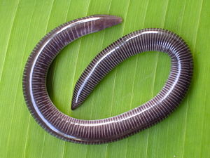 Uraeotyphlus narayani habitus.JPG