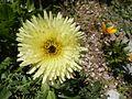 Urospermum dalechampii (capitule).jpg