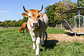 Vache nantaise-2.jpg