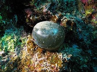 Valonia ventricosa - Valonia ventricosa in the Red Sea