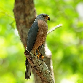 Variable Goshawk (8270598950).jpg