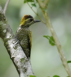 Veniliornis maculifrons - Yellow-eared woodpecker (male).jpg